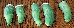 Trichocereus Bridgessi Mostruosa, Penis Cactus