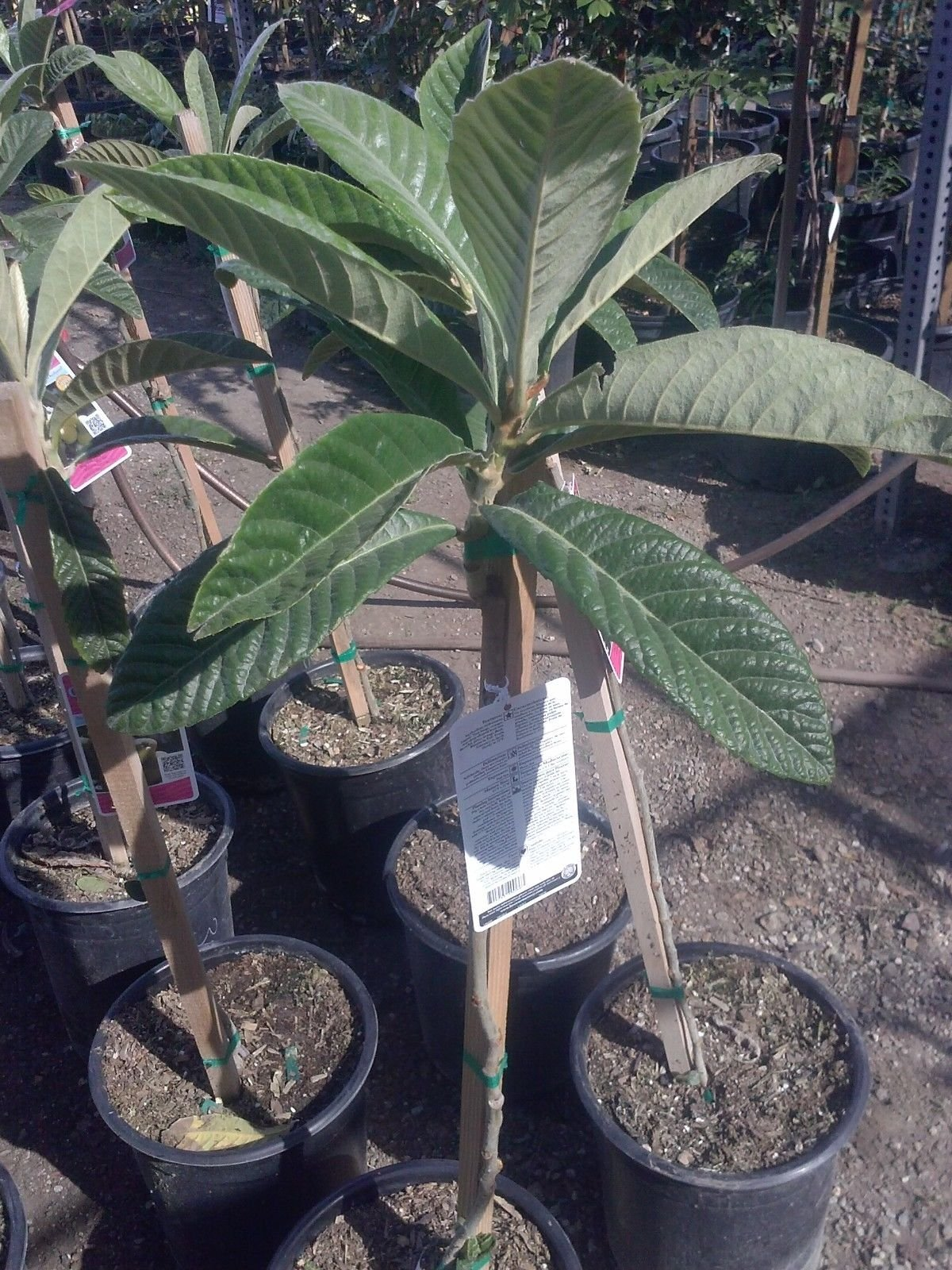 9EzTropical - Big Jim Loquat Tree - 3 Feet Tall - Ship in 3 Gal Pot
