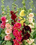 """0.5g (Approx. 50) Hollyhock """"Summer Carnival Mix"""" Seeds Bot.: """"Althea Rosea"""" Double Blooms, Mixed Color, Old Fashioned Flower 'Fresh Seeds - Best Before 12.2017!'"""