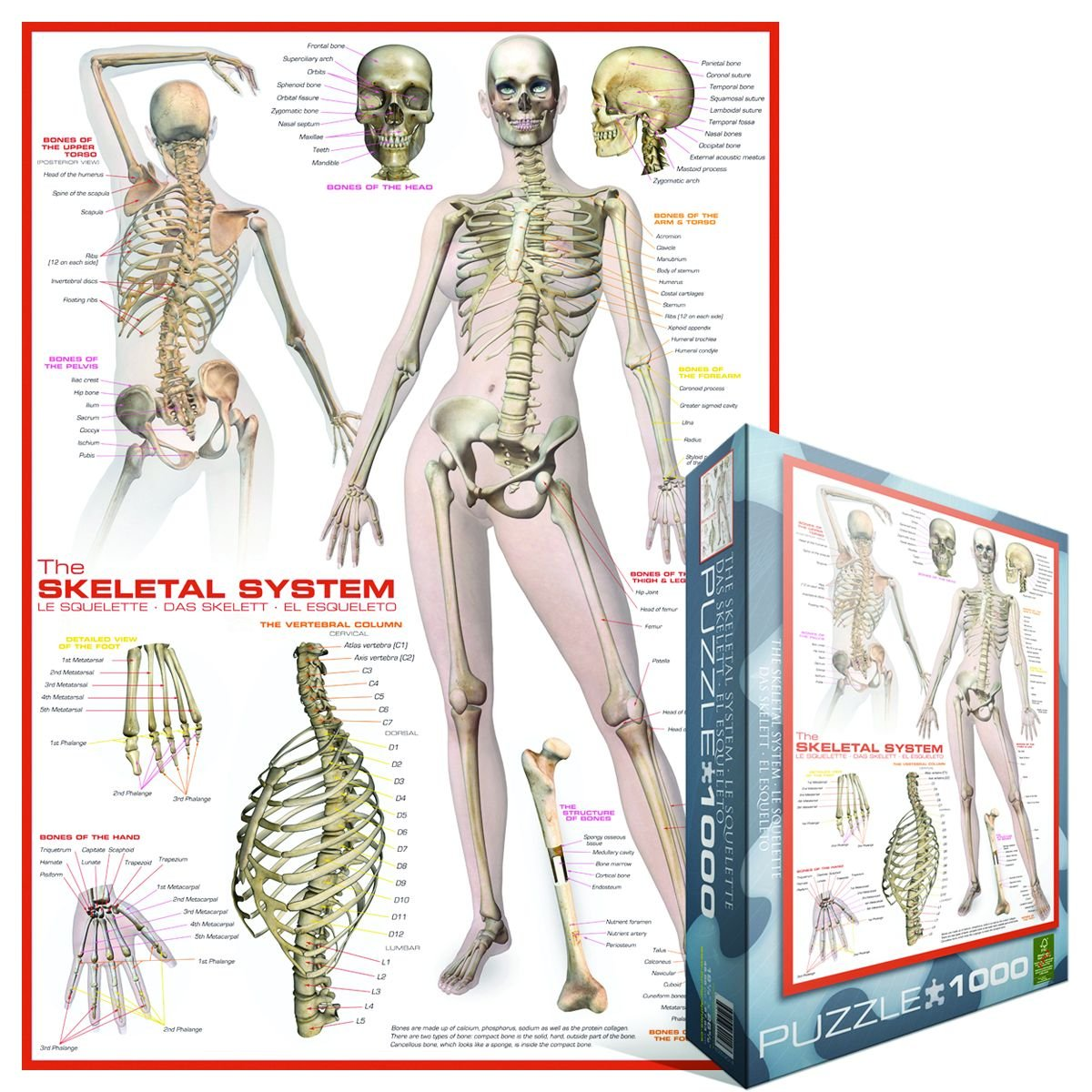Amazon Eurographics Skeletal System Human Body 1000 Piece