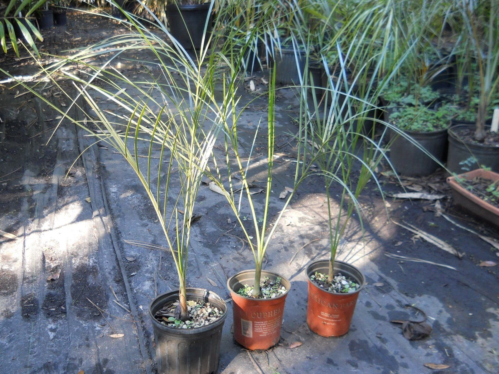 The Buccaneer Palm young liveTree Pseudophoenix sargentii 2-3 foot! 3 gal