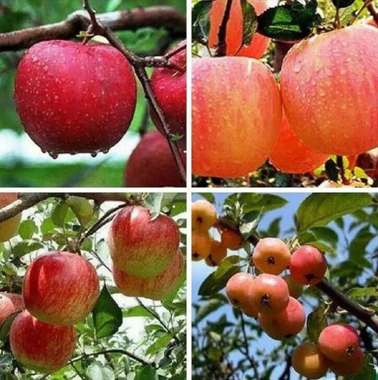 30+ Seeds Bonsai Apple Tree Seeds Garden Yard Outdoor Living Fruit Plant