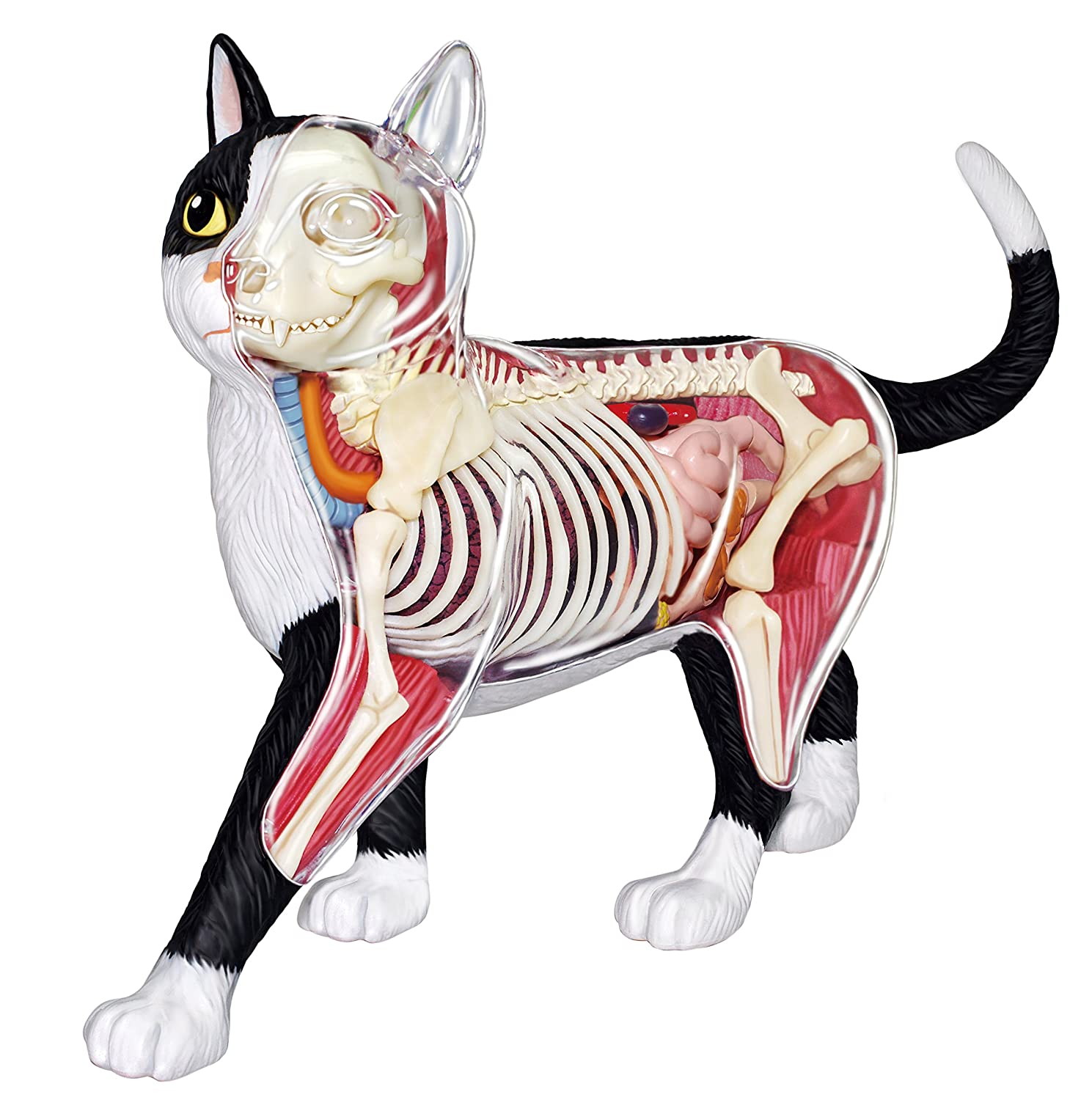 4d Master Vision Cat Skeleton Anatomy Model Kit Amazon