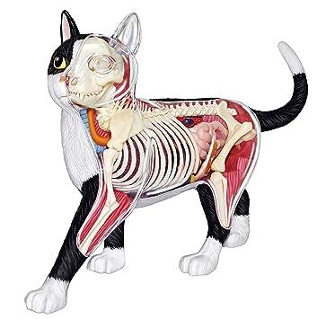 4d Maestro visión gato esqueleto y anatomía Modelo Kit: Amazon.es ...