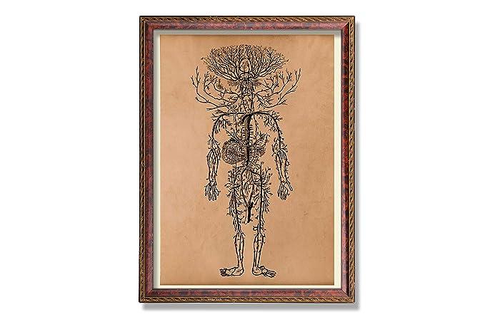 Amazon Vintage Anatomy Poster Circulatory System Illustration