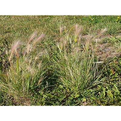 200 Seeds of Hordeum jubatum, Foxtail Barley, Bobtail Barley, Squirreltail Barley, Intermediate Barley, Squirrel-Tail Grass : Garden & Outdoor