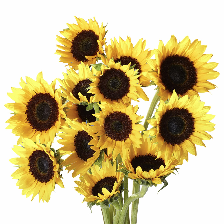 GlobalRose 100 Fresh Cut Yellow Sunflowers - Beautiful Sunbright Blooms