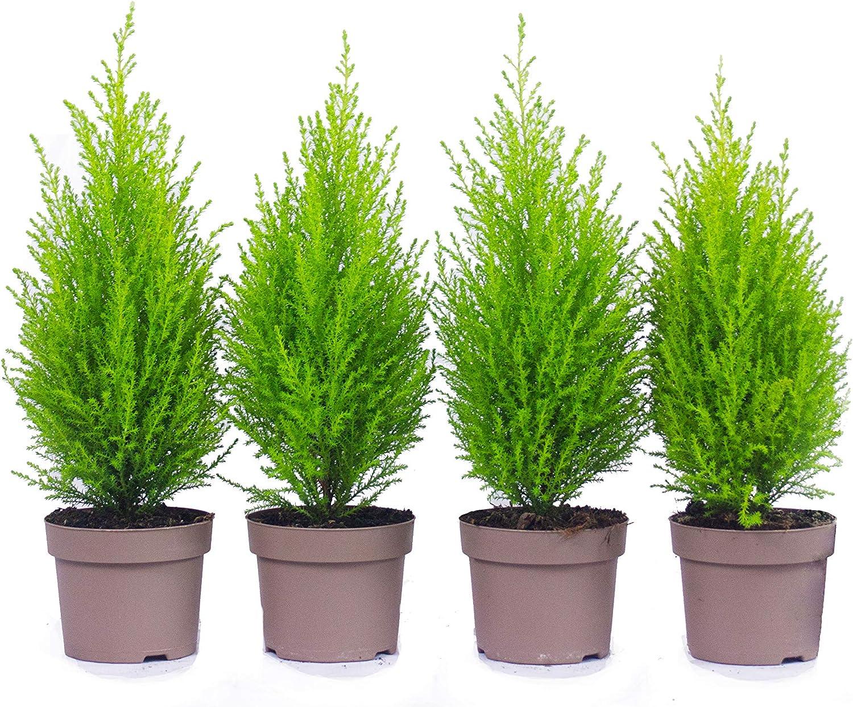 Top Zypressen en 40 cm A1 calidad MPS controla nuestras plantas son ya para usted vorgedüngt