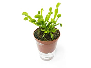 Amazon Com Aquatic Arts Venus Flytrap Plant Fruit Fly Trap Indoor