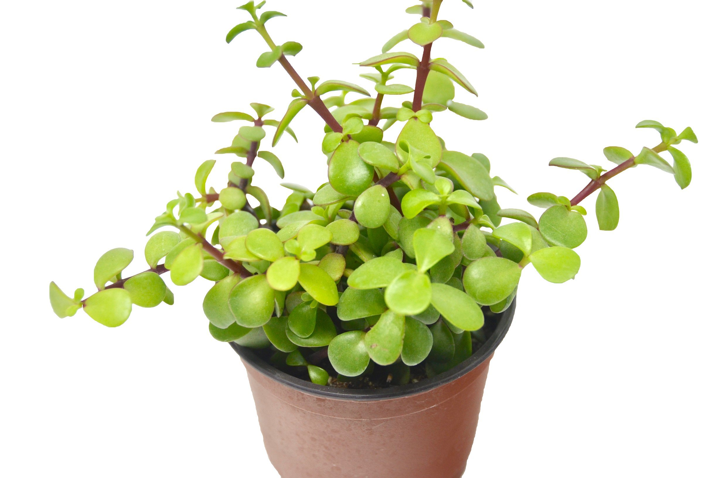 'Elephant Bush' Succulent/4'' Pot/Live Home and Garden Plant/Free Care Guide