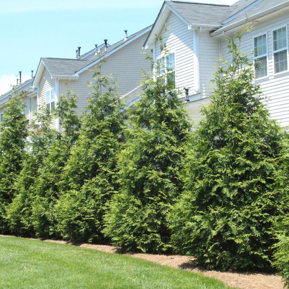 Thuja Green Giant - up to 7 ft. tall evergreen trees! - Enjoy Instant Privacy Evergreens- Oversize Arborvitae Thuja Green Giants