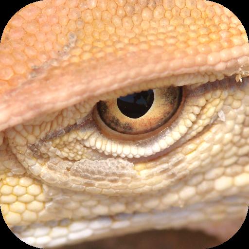Field Guide to Jordan - Lizards Jordan