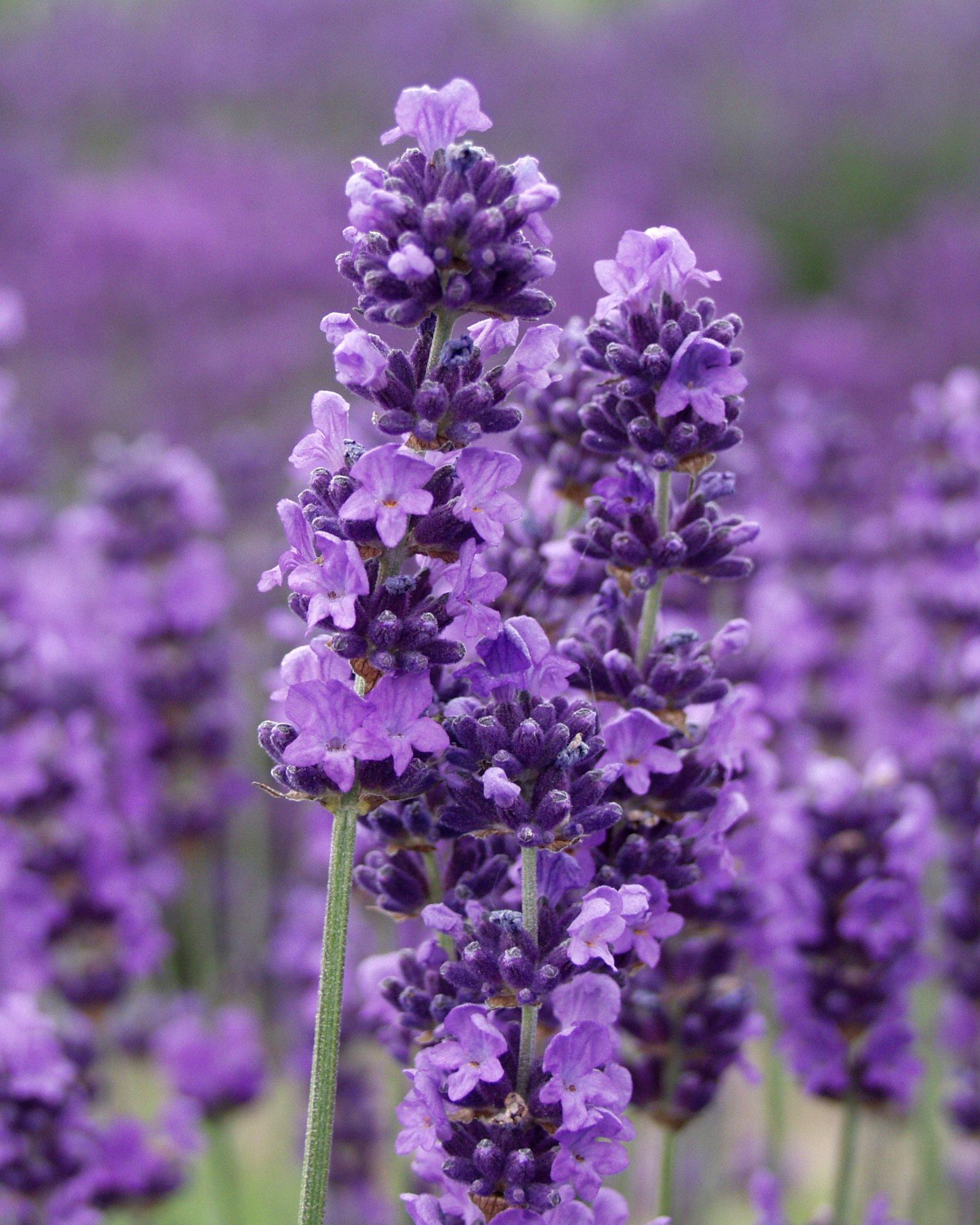 Findlavender - Lavender MUNSTEAD (Dark Purple Flowers) - 4'' Size Pot - Zones 5 - 9 - Bee Friendly - Attract Butterfly - Evergreen Plant - 25 Live Plant