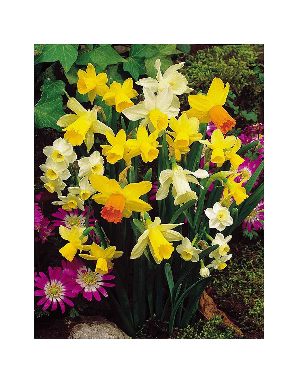 GARTHWAITE NURSERIES® : - 50 Mixed Miniature Daffodil/Narcissus Bulbs Dwarf Special Mixture Perennial