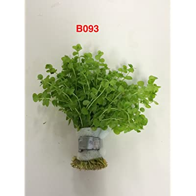 Exotic Live Aquatic Plant for Fresh Water Micranthemum umbrosum Bundle B093 By Jayco **BUY 2 GET 1 FREE : Garden & Outdoor