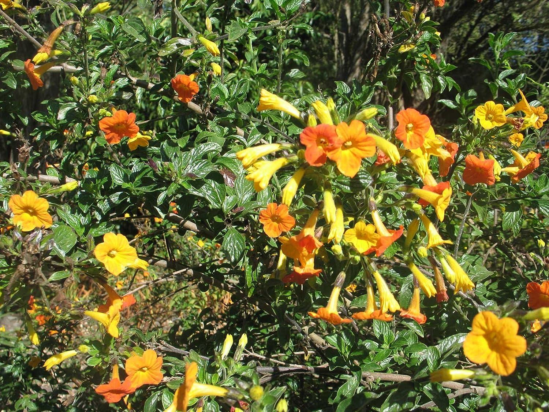 Streptosolen jamesonii Marmalade Bush 200/_Seeds Orange Browallia Firebush