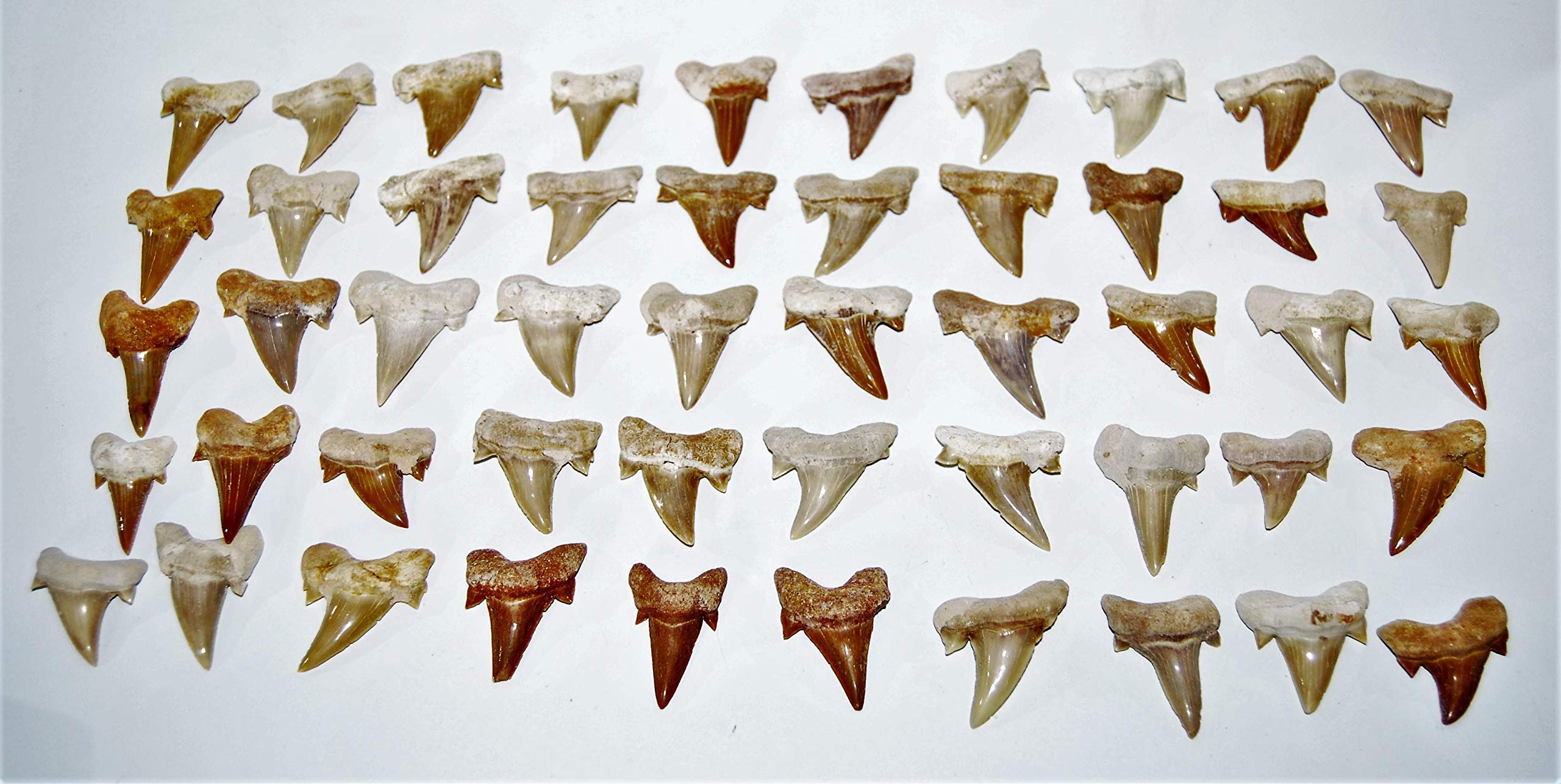 OTODUS Shark Tooth Real Fossils ¾-1 Inch (S) Lot of 50 Teeth B Grade 14513