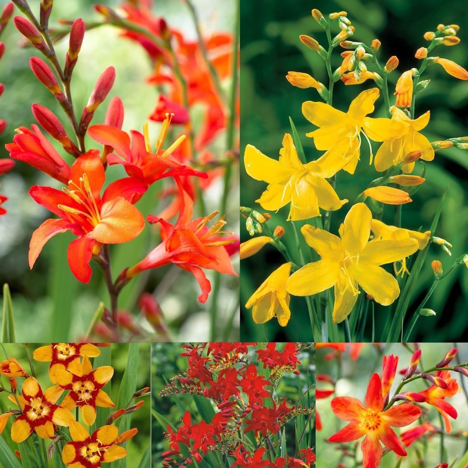 Crocosmia Mix (60 Bulbs),bright red color,drought-tolerant,zones 6 through 10.