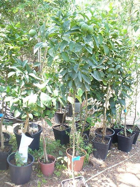 Citrus sinensis Sanguinelli -1 árbol: Amazon.es: Jardín