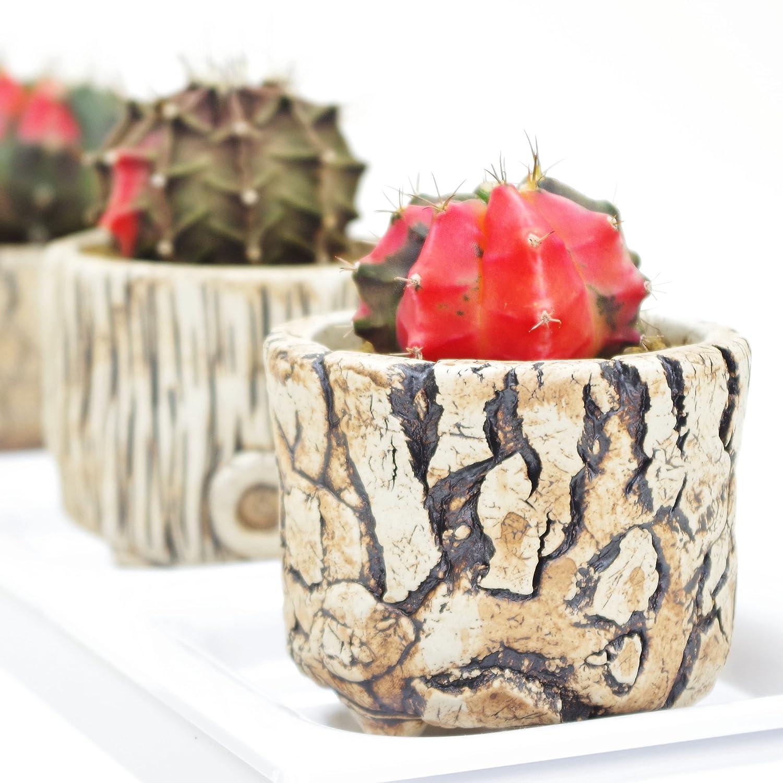 (株)赤塚植物園 ① ペッタムシィー(Petchtamsee)農場のギムノカリキウム 陶器鉢仕様 B07BWMHCDV