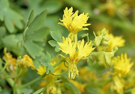 Enredadera canaria, flor de Canarybird, vid Canarybird, capuchina canaria - semilla