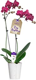Hallmark Flowers Double Spike Purple Orchid in 5-Inch White Button Ceramic Container