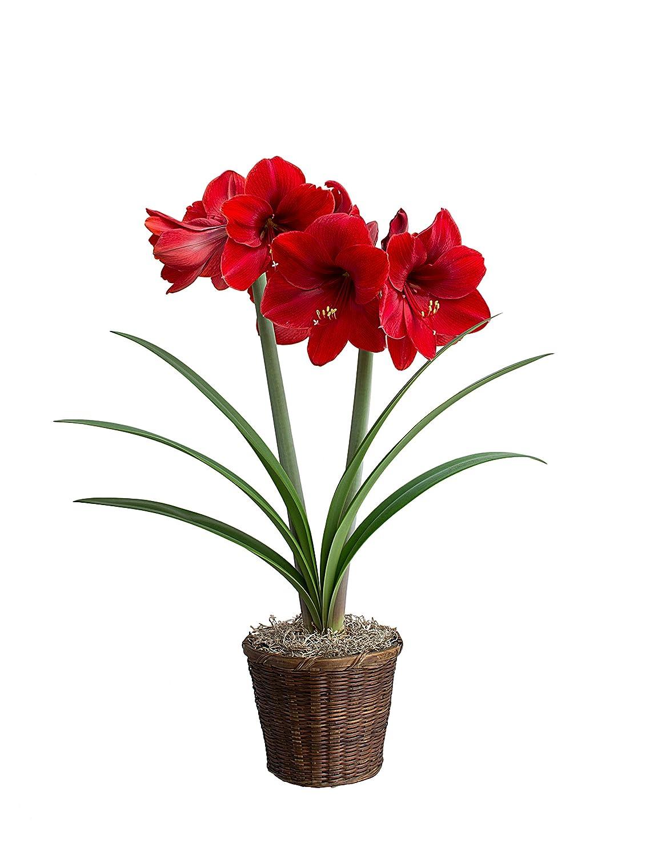 Black Pearl Beautiful Flowering Amaryllis Bulb Blooming Sized Live Bulb Decor