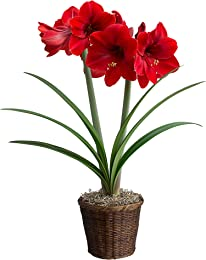 Hallmark Flowers Amaryllis Bulb In Brown Woven Basket, Red
