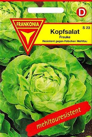 Resistent gegen Falschen Mehltau Gemüse 150 Samen S 23 Kopfsalat Frauke