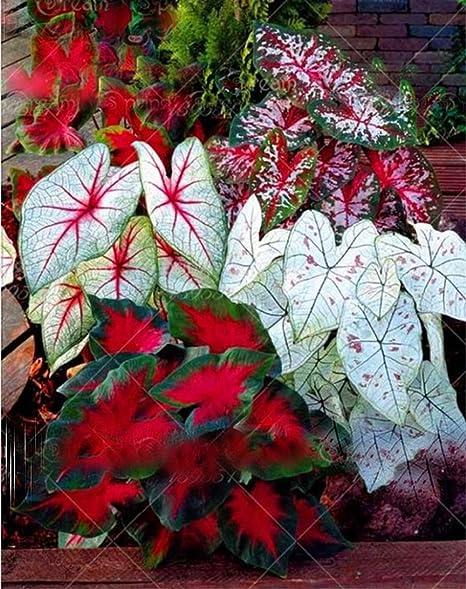 200pcs//bag Lamp bead grass seeds flower seed Red Garden Ornamental easy grow Per