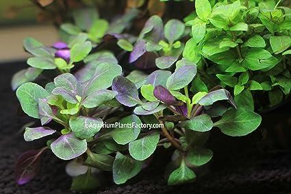 Amazoncom Lobelia Cardinalis Dwarf Live Aquarium Plants By