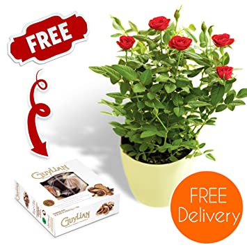 Quality Plants Delivered Delivery Included Potted Red Rose Bush