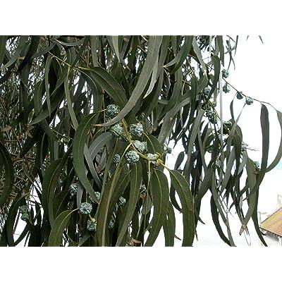 Eucalyptus Globulus 50 Seeds - Tasmanian Blue Gum Tree Seeds, Eucalyptus Plant Live Indoor Seeds, Blue Eucalyptus Seedlings, Fast Growing Plant : Garden & Outdoor