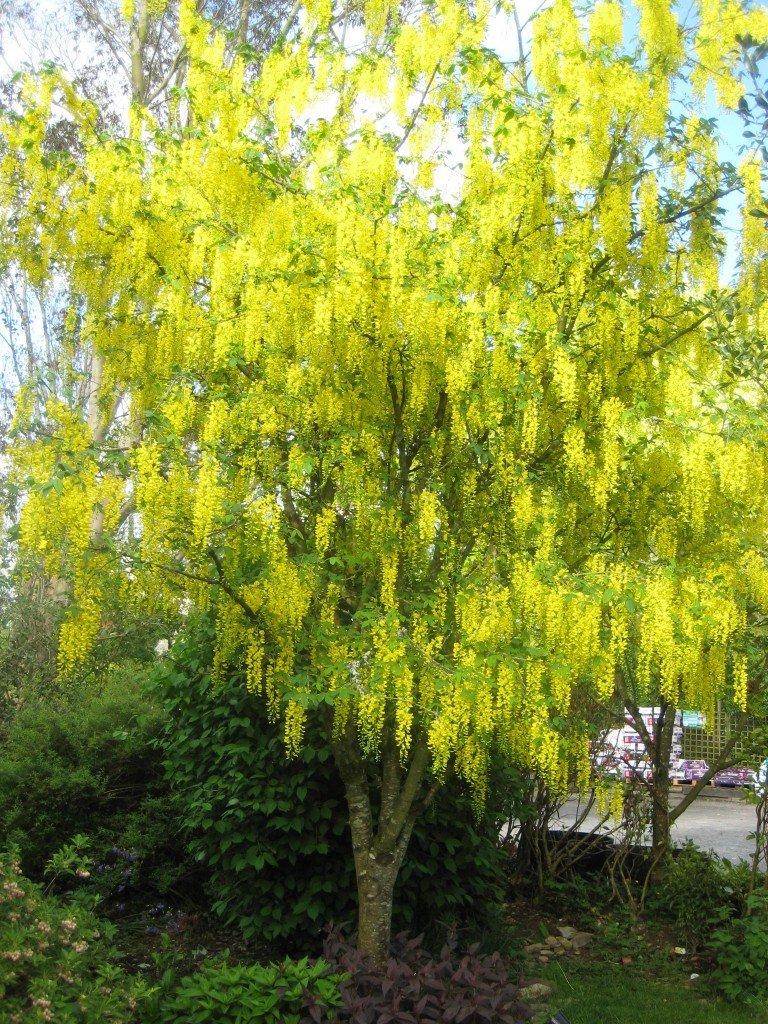 GOLDEN RAIN TREE10 SEEDSRARESHOWY #1118