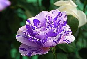 30Pcs Rare Rose Flower Seeds Garden Decor Perennial Balcony Plant Blue