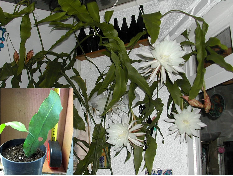 Amazon Epiphyllum Oxypetalum Queen Of The Night Plant Root