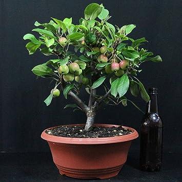 Manzano ornamental, Malus Georgus, bonsái para exterior, 10 años, altura 32 cm
