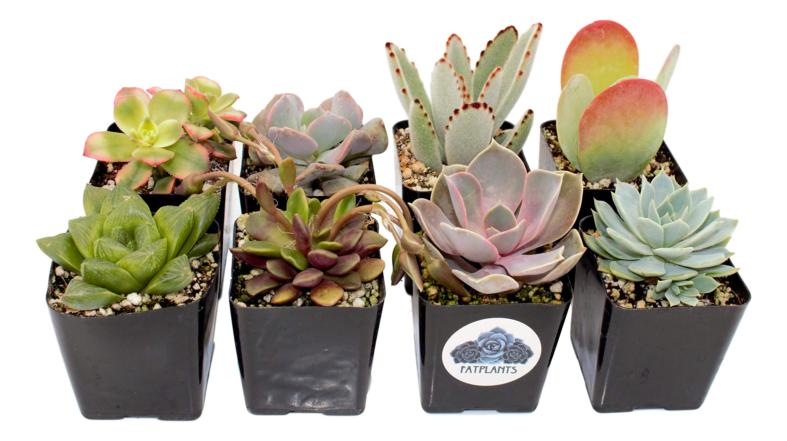 Fat Plants San Diego Premium Succulent Plant Variety Package. Live Indoor Succulents Rooted in Soil in a Plastic Growers Pot (8)