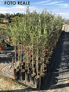 piantare olivo leccino