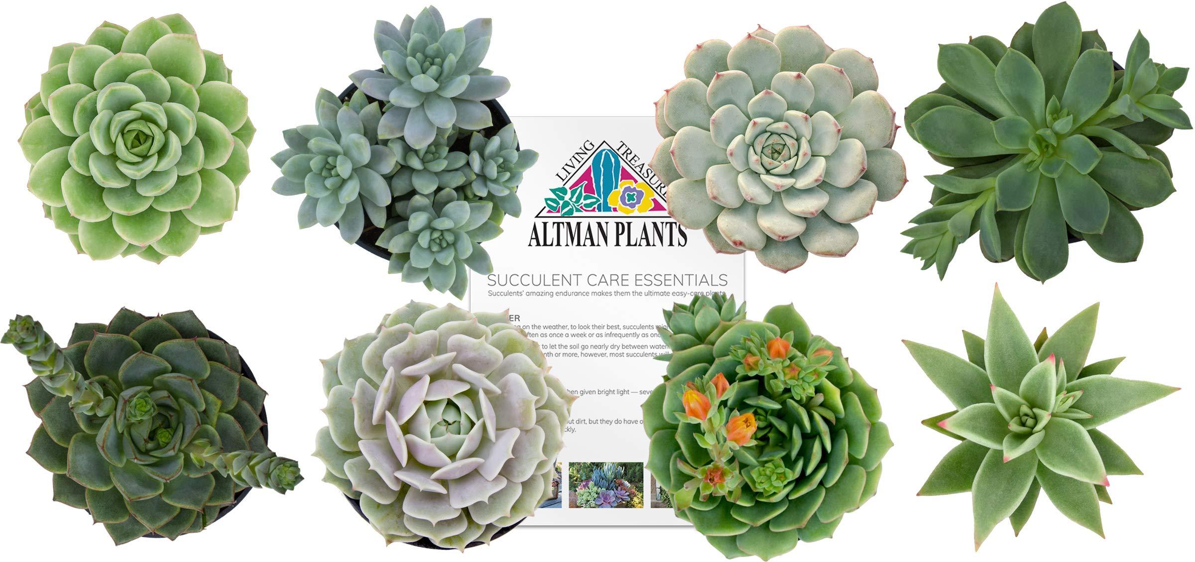 Altman Plants Assorted Live Succulents Flowering Rosette Collection Echeveria, sedeveria, perfect for party favors and arrangements, 2.5'', 8 Pack