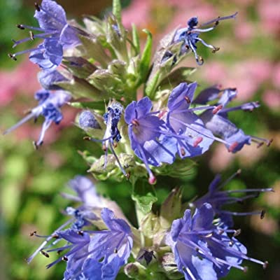 Blue Hyssop Seeds (Hyssopus officinalis) 40+ Rare Heirloom Herb Seeds in FROZEN SEED CAPSULES for The Gardener & Rare Seeds Collector - Plant Seeds Now or Save Seeds for Years : Garden & Outdoor