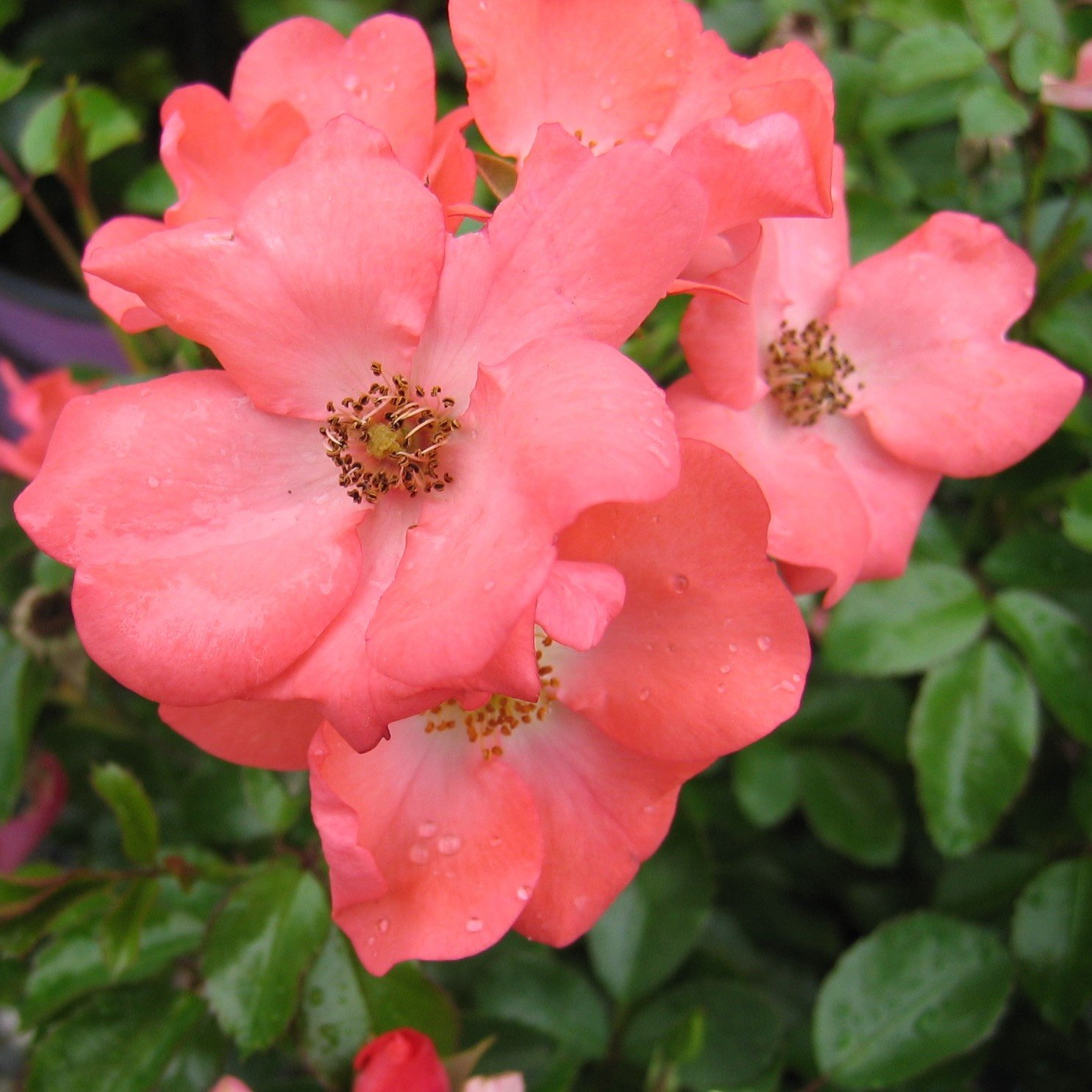 Rosas de alfombra de flores: Amazon.es: Jardín