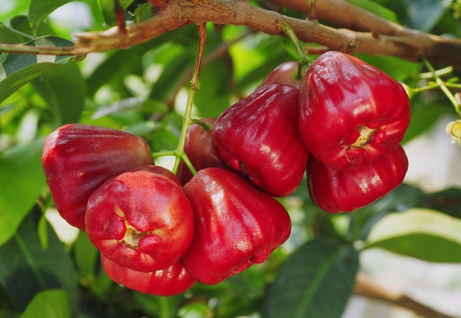 Black Dinamond Wax Jambu Tropical Fruit Trees Wax Apple