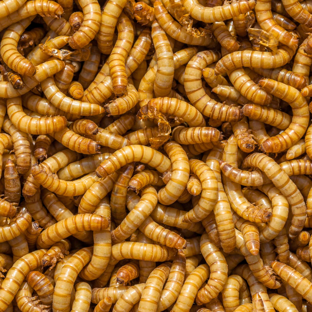 DBDPet Organically Grown Bulk Premium 3/4'' Live Mealworms 2,002ct - Reptiles, Leopard Geckos, Small Geckos, Chickens, Fishing, Wild Blue Birds, Wild Birds - Includes a Caresheet by DBDPet