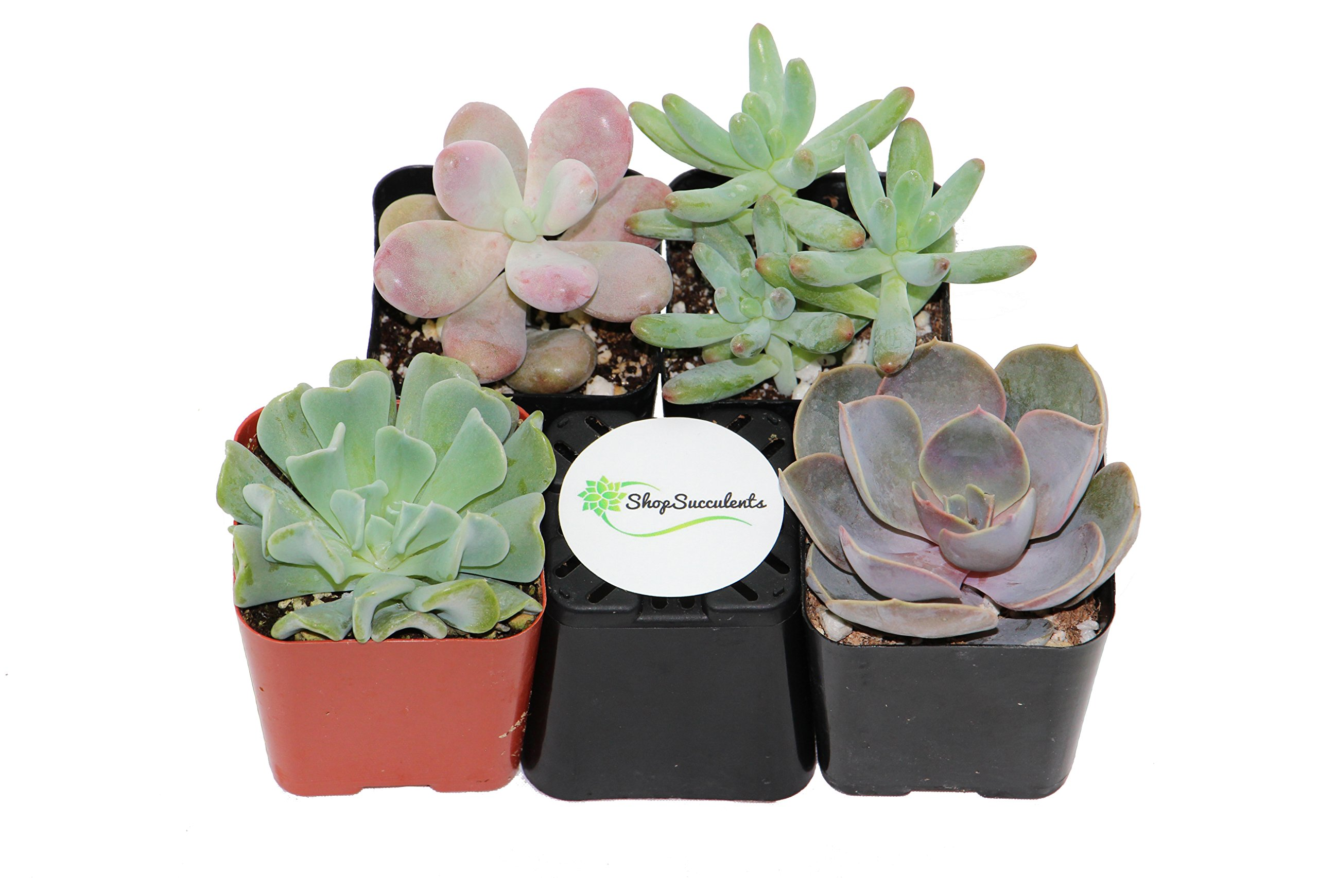 Shop Succulents Premium Pastel Succulent (Collection of 4)