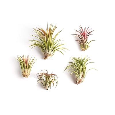 Shop Succulents Large Ionantha Tillandsia Air Plant Collection of Five - Lush Tropical House Plants - Indoor Decor and DIY Terrarium Air Plants - Fun Family Project : Garden & Outdoor