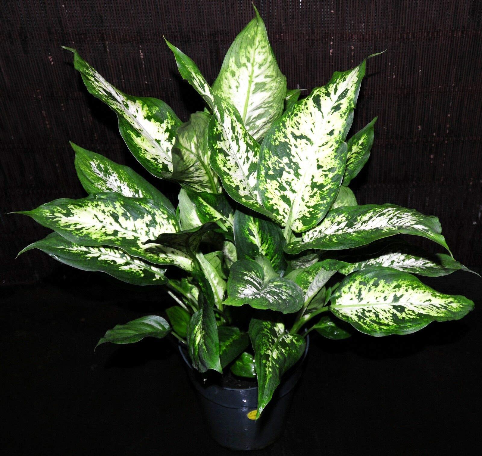 Gorgeous Large 6'' Dieffenbachia COMPACTA Tropical Houseplant Shipped Inside Pot (Premium Quality) by AY-Premium