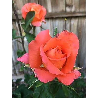 1 Live Plant Orange Shreveport Hybrid Tea Rose 3 Gallon Plant Shrub Roses Outdoor Gardening tktreas : Garden & Outdoor