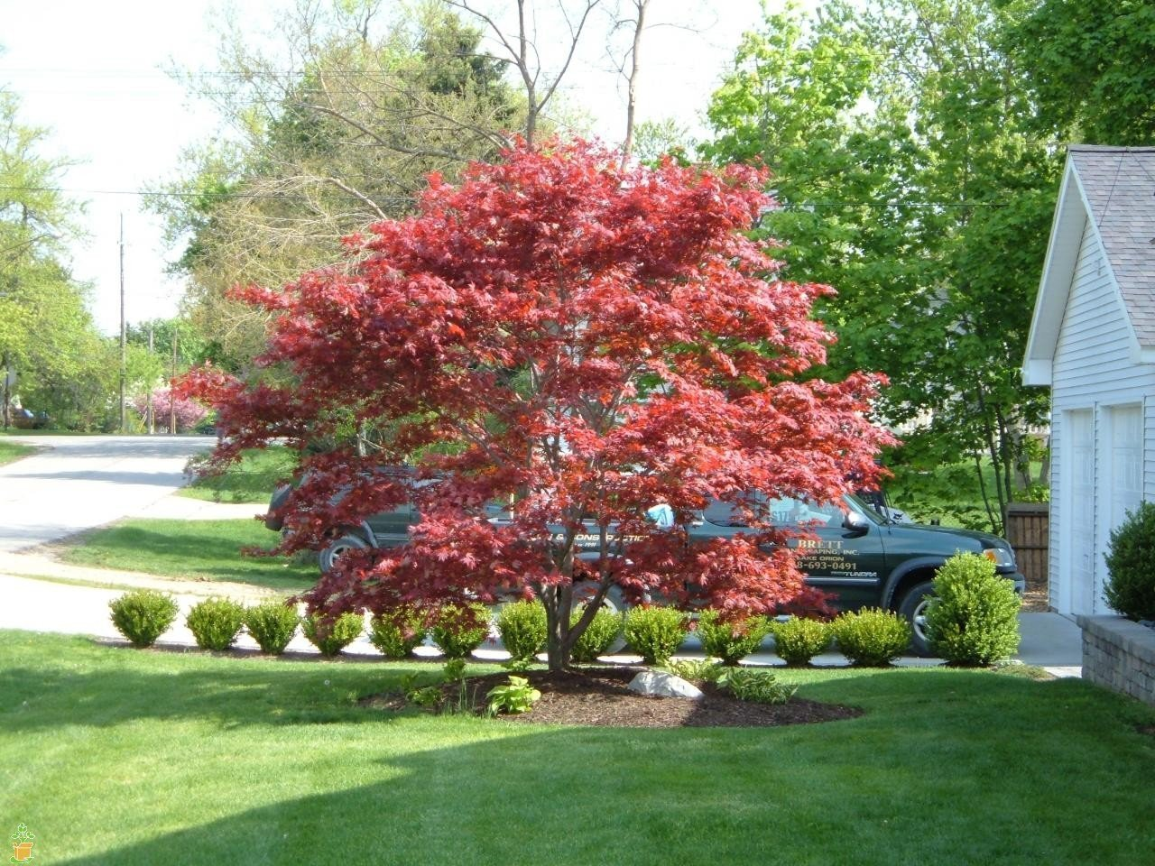 Bloodgood Japanese Maple (4-5 Feet)