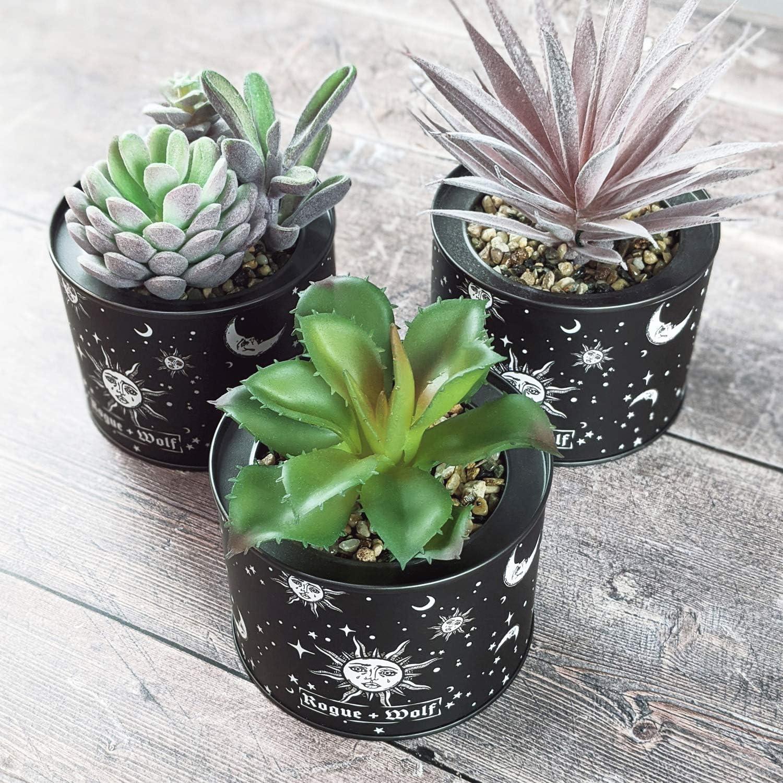 Celestial Wolf Three Celestial Succulent Plants Rogue